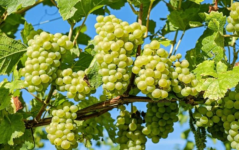 bunches of grapes on the vine | health and weight loss | Peace Evolution