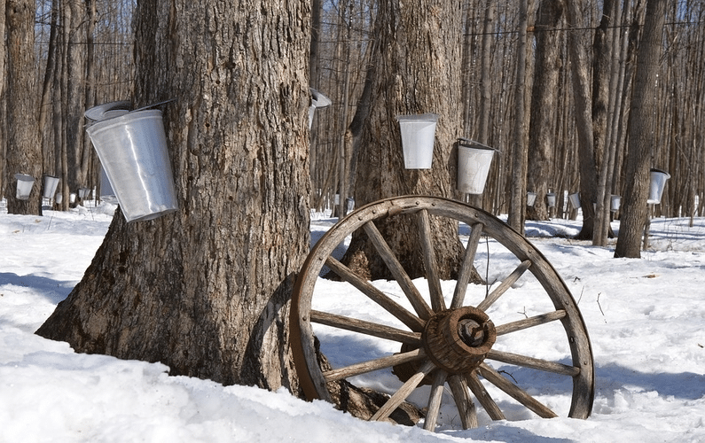 harvesting maple syrup | aspartame dangers | Peace Evolution