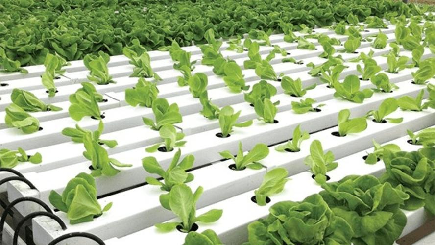 hydroponics veggies | Peace Evolution